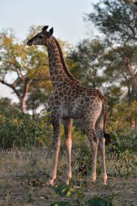 Junge Giraffe in der Nähe des Sabie Parks